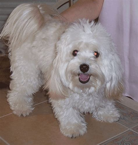 small havanese 78 best ideas about breeds on adorable puppies pets and small dogs