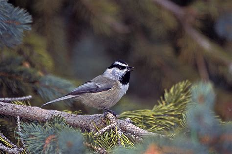 file mountain chickadee santa fe ski area jpg wikipedia