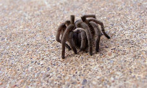 tiny tainy tarantula the urban wildlife interface