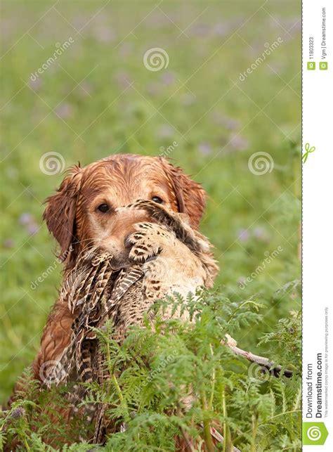 golden retriever for pheasant gundog retrieving a pheasant stock photos image 11803323