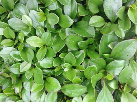 peperomia scandens buy peperomia  plants