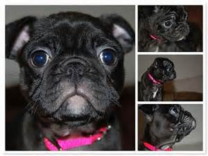 pug care guide top 20 pug care tips pugs not drugs