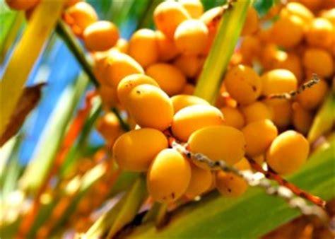 palm tree orange fruit pindo palm