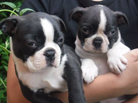 terrier puppies for free boston terrier puppies for sale