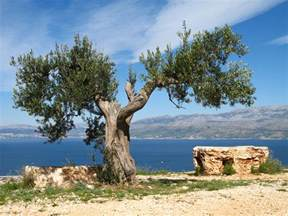 olive tree olives and olive trees 365 reasons for against moving to