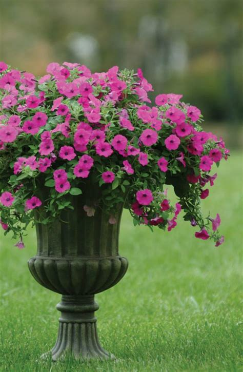 how to care for wave petunias