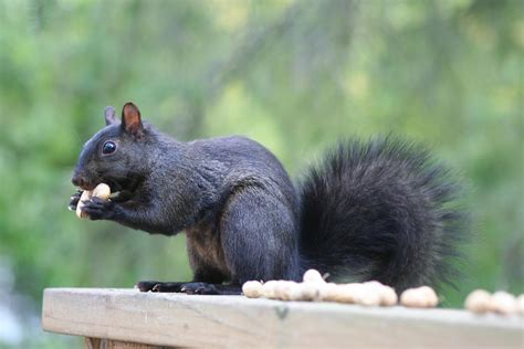 Something Wild Adaptation Or Anomaly New Hshire Black Squirrel