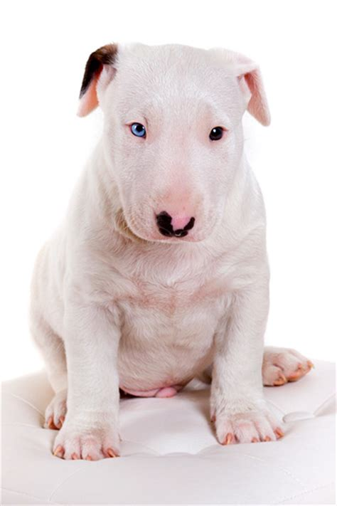 bull terrier bull terrier the eye of the tiger bull terrier puppies puppies photos dog photos