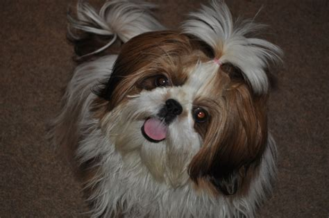 high point shih tzu quot kendall quot is an adorable white she s just an all around doesn t