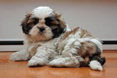 what do shih tzu puppies eat more shih tzus should get mohawks my has a mohawk and she s the same