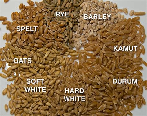 whole grains vs gluten kamut vs wheat