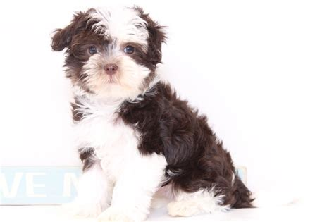 havanese weight puppies for sale