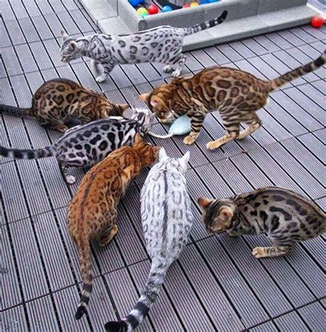 bengal cat colors bengal kittens history temperament care and tips