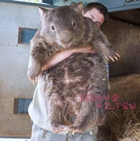 superthick whoa wombat news and photos perez hilton
