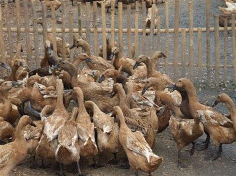 Bibit Bebek Sekarang bagaimana cara beternak bebek bebek lung