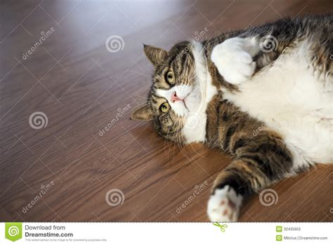 Fat Tabby Cat stock image. Image of nose, tired, striped