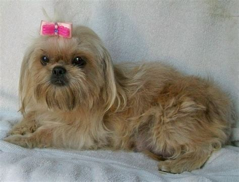 average size shih tzu imperial shih tzu for sale with price and links to breeders