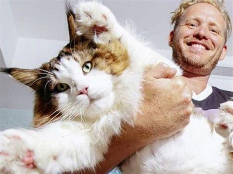 Samson, le plus gros chat du monde, cartonne sur Instagram