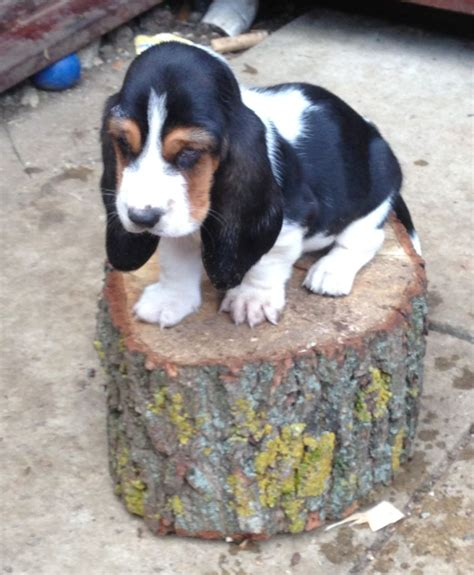 basset puppies for sale basset hound puppies for sale banbury oxfordshire pets4homes