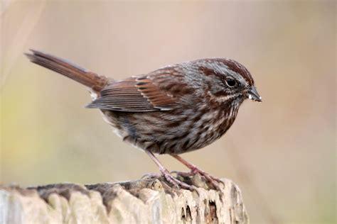 song sparrow reifel migratory bird sanctuary delta bc canada