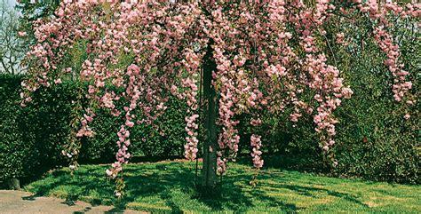 alberi giardino sempreverdi piante sempreverdi da giardino alberi da giardino