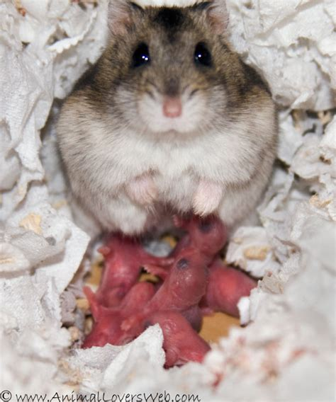 photos of the day by day development of baby hamsters