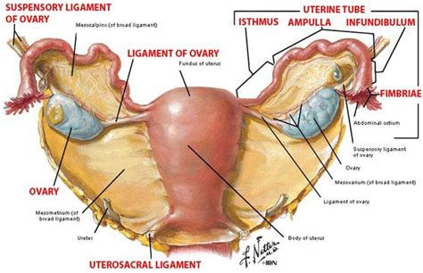 Uterosacral Ligament Anatomy