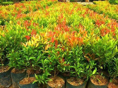 harga tanaman hias pucuk merah di biak www stewartflowers net
