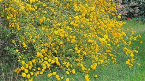 arbusti con fiori gialli come coltivare la kerria japonica deabyday tv