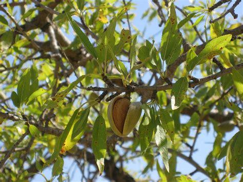 almond fruit tree almond prunus amygdalus fruit almond tree