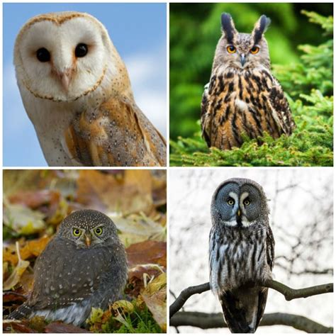 18 owl species with irresistible faces mnn mother