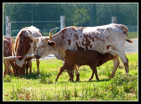 Is Cow Color Blind are cows color blind 28 images cow information for