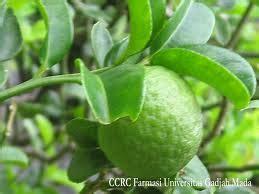 faiz keyendh deskripsi klasifikasi  morfologi tanaman