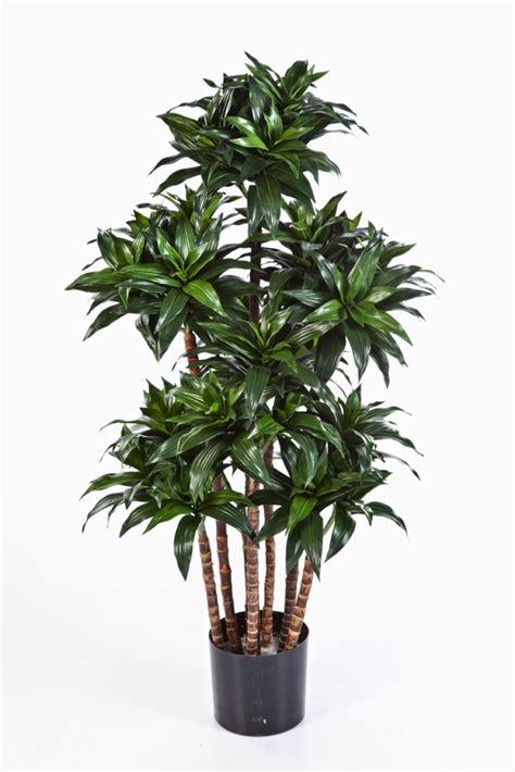 drachenbaum dracaena fragrans drachenbaum dracaena fragrans compact sk11