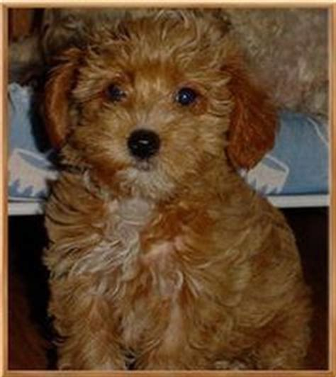 yorkie poo colors everyone needs a yorkie poo like my obi for the home adorable