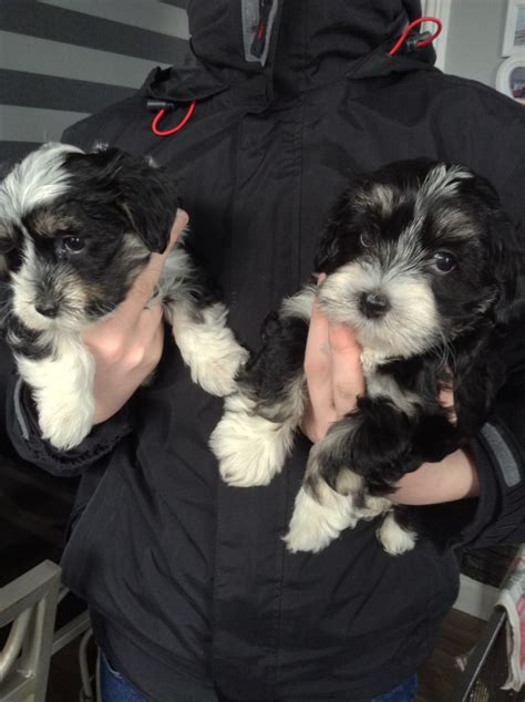 havanese dogs for sale uk kc registered havanese puppies for sale newton le willows merseyside pets4homes