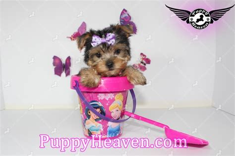 yorkie secrets secret teacup yorkie puppy in summerlin las vegas