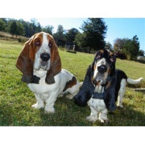 basset hound puppies ga janzen family bassets basset hound breeder in conyers