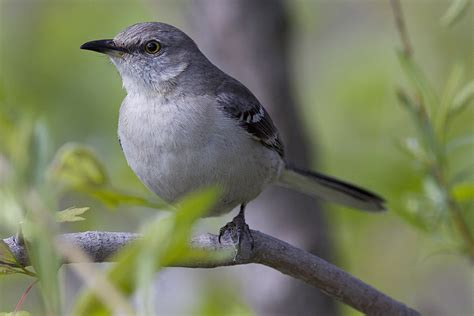 ann brokelman photography baby mockingbird flapping wings