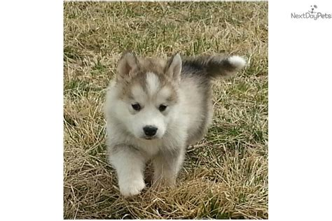 timberwolf puppies for sale timber wolf puppies for sale in missouri breeds picture