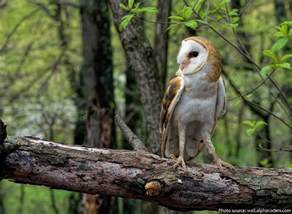 barn owl facts interesting facts about barn owls just facts