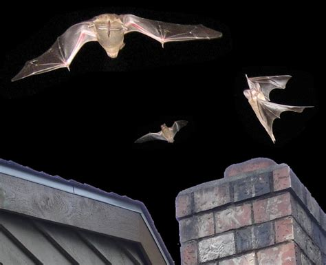 Bats In Fireplace Chimney by Bats In The Chimney What To Do Living In Chimney Cavity