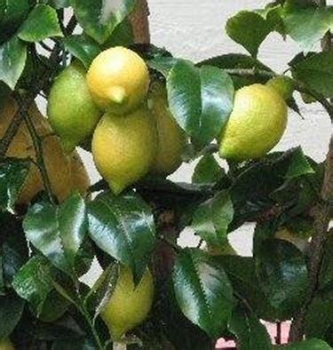 cura dei limoni in vaso cura limone domande e risposte orto e frutta
