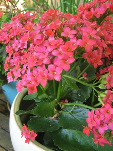kalanchoe care the gardens pinterest