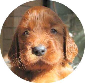 irish setter dogs for sale australia irish setters puppies irish setters australia real