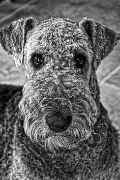 76 Best airedale terriers images   Airedale terrier, Welsh
