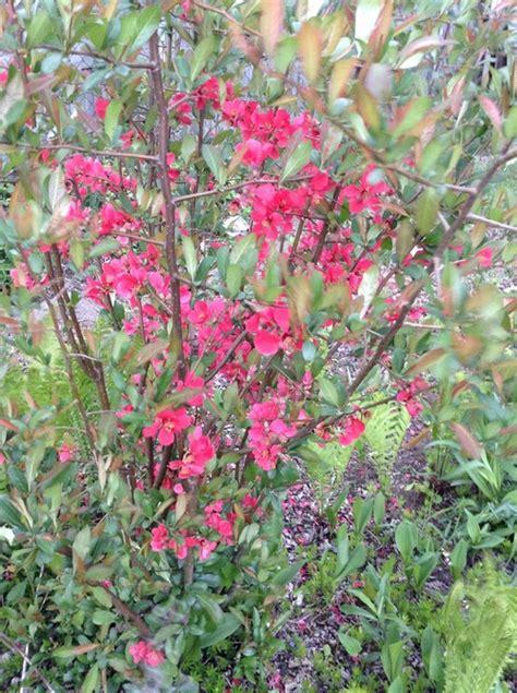 shrub identification by flower help identify these flowering shrubs