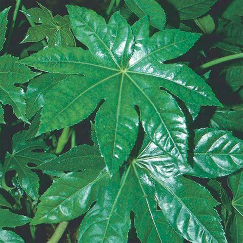 japanese aralia fatsia japonica my garden life