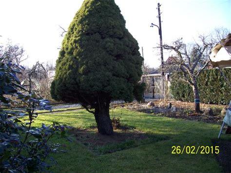 Thuja Baum Schneiden 3381 thuja baum schneiden thuja stecklinge schneiden thuja