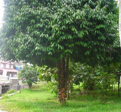 Bedak Bau Keringat Surakarta risky666 9 pohon berkhasiat magis